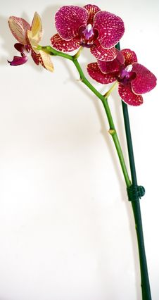 Free Orchid Stock Photo - 14030070