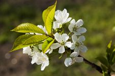 Free Cherry Flowers Royalty Free Stock Images - 14030369