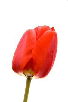 Free Red Tulip Stock Image - 14030561