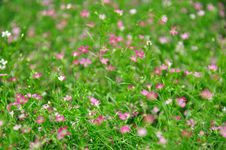 Free Small And Pink Flower Royalty Free Stock Photo - 14030775