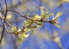 Free Spring Tree Royalty Free Stock Photography - 14030807