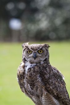 Free Eagle Owl Stock Photo - 14031050