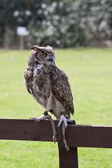 Free European Owl Royalty Free Stock Photos - 14031088