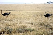 Ostriches, Tanzania Royalty Free Stock Photography