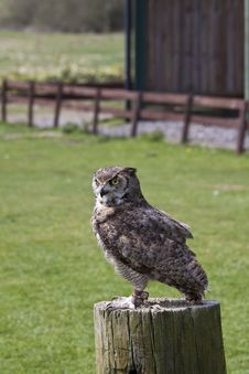 Free Eagle Owl Royalty Free Stock Images - 14031119