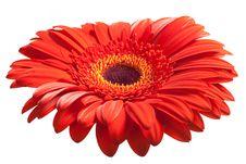 Free Red Daisy Royalty Free Stock Photos - 14031218