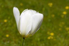 Free A Beautiful White Tulip - Closeup Stock Photography - 14032432