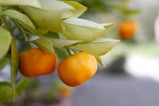 Free Mandarine Royalty Free Stock Images - 14032549
