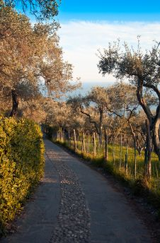 Free Avenue Of Olive Trees Royalty Free Stock Images - 14032849