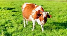 Free Cow Stock Images - 14032884