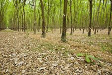 Free Rubber Tree Plantation Royalty Free Stock Photography - 14033447
