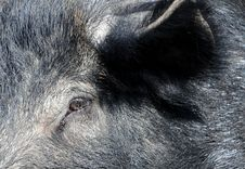 Free Wild Boar Neb Stock Photos - 14034303