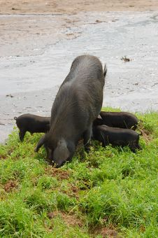 Free Pig-Sows And Piglets Royalty Free Stock Photos - 14035648