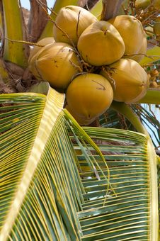 Free Coconut Tree Royalty Free Stock Photography - 14038037