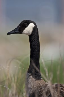 Free Canada Goose Stock Photos - 14038583