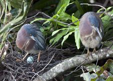 Free Green Heron Royalty Free Stock Photos - 14038668
