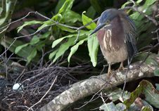 Free Green Heron Stock Images - 14038674