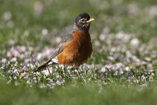 Free American Robin Royalty Free Stock Images - 14038709