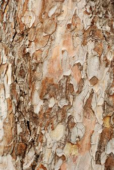 Free Pine Crust Texture Royalty Free Stock Photo - 14038775