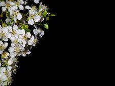 Free Cherry Flowers In Dark Stock Photos - 14038783