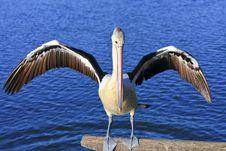 Australian Pelican With Wings Spread. Stock Photo