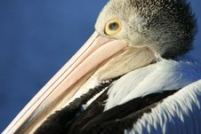Profile Close-up Of Australian Pelican Royalty Free Stock Image