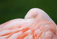 Free Flamingo Royalty Free Stock Images - 14039499
