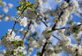 Free Spring - Blossoming Tree Royalty Free Stock Image - 14041056