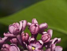 Free Lilac Stock Image - 14040331