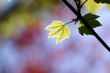 Free Green Maple Leaf Royalty Free Stock Photos - 14040478