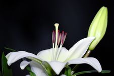 Free Lily White Royalty Free Stock Photography - 14040507