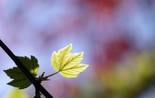 Free Green Maple Leaf Royalty Free Stock Photos - 14040508