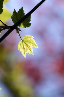 Free Green Maple Leaf Stock Photo - 14040520
