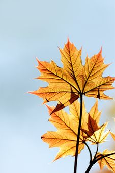 Free Red Maple Leaf Stock Image - 14040571