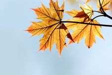 Free Red Maple Leaf Stock Photos - 14040583