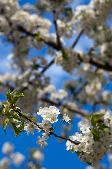 Free Spring - Blossoming Tree Stock Photo - 14040910