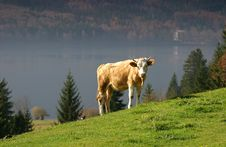 Free A Lone Cow Stock Image - 14040921