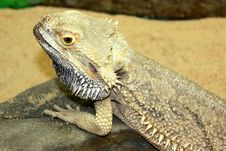Large Lizard Royalty Free Stock Photo