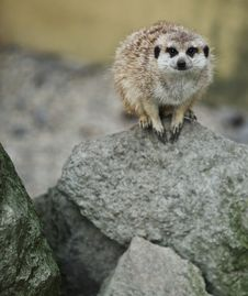 Free Funny And Cute Suricate Royalty Free Stock Photos - 14041528