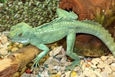 Free Green Lizard Stock Image - 14041601