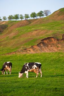 Free Cows Eating Grass Royalty Free Stock Photos - 14041838