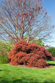 Red Japanese Maple Tree Stock Photos