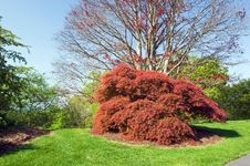 Free Red Japanese Maple Tree Royalty Free Stock Images - 14042059