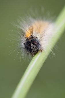 Free Hairy Caterpillar Stock Photos - 14042093