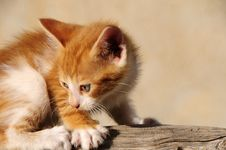 Free My Little Cat Royalty Free Stock Photos - 14042118