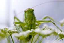 Free Grasshopper Portrait Royalty Free Stock Photo - 14042385
