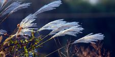 Free Ornamental Grass In Wind Stock Photo - 14042880