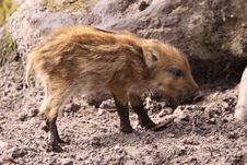 Free Wild Swine Stock Photography - 14042982