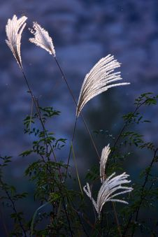Free Ornamental Grass Royalty Free Stock Image - 14043066