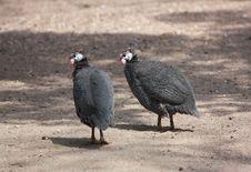 Free Guinea Fowl Stock Image - 14043111